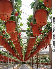 Strawberries - Row of strawberry plants Growing strawberries...
