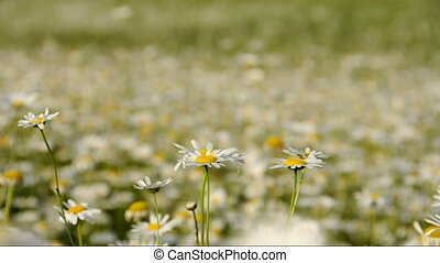 Daisies in a field - Numerous daisies blooming in a green...