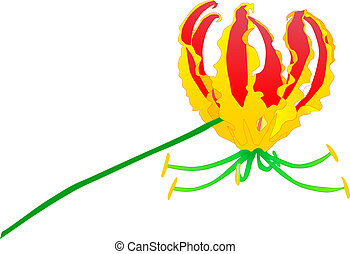Gloriosa lily - illustration of a Gloriosa lily in vibrant...