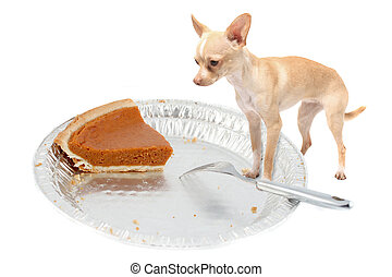 Chihuahua wants pumpkin pie - Little chihuahua dog standing...