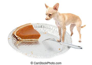Chihuahua wants pumpkin pie - Little chihuahua dog standing...