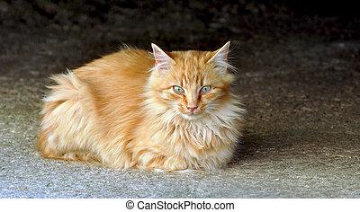 gato domstico
