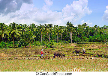 Asian primitive farming - Asian farmers ploughing rice field...