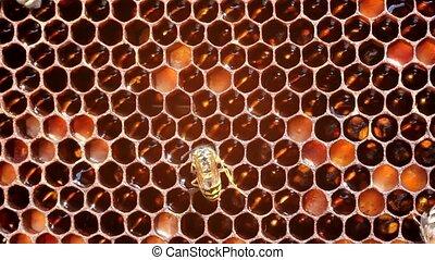 Wasp - a thief - Wasp steals nectar and honey bees