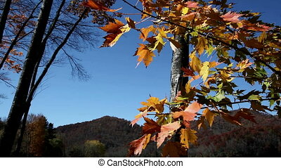 Fall Leaves And Blue Sky - Fall leaves of yellow, orange,...