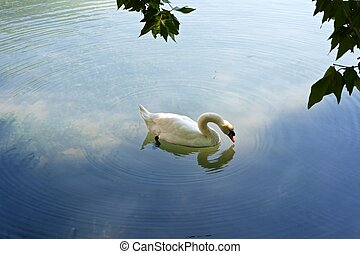 Swan on a pond.