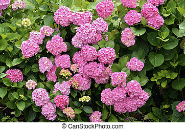 Red Hydrangea flowers - Closeup of red Hydrangea macrophylla...