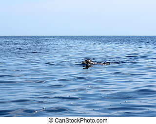 spotted seal (Phoca largha) in clean water