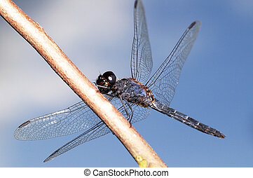 Blue dragonfly - A Blue dragonfly on the branch