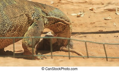 Komodo dragon hunts a rat