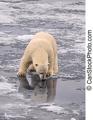 Polar Bear on the ice, Spitsbergen 2012