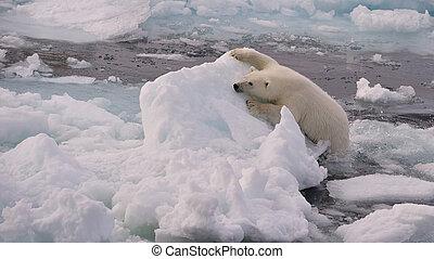 POlar Bear cub - Polar Bear cub on the ice, Spitsbergen 2012
