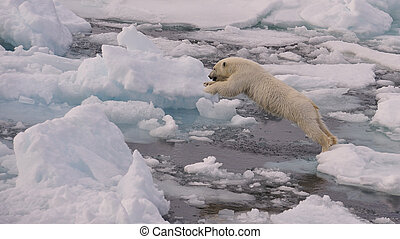 Polar Bear cub on the ice, Spitsbergen 2012