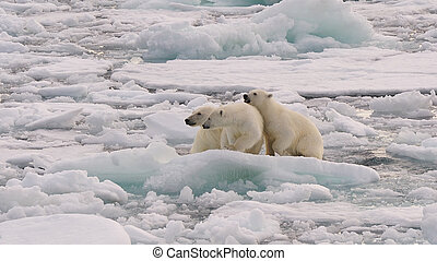 Polar Bear with two cubs on the ice, Spitsbergen 2012