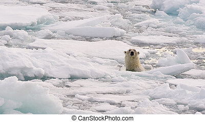 Polar Bear in the water, Spitsbergen 2012