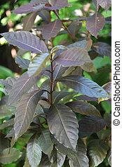 pictum,  graptophyllum, bronce