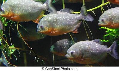 piranhas fish underwater