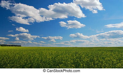 Oilseed rape field - Field of yellow oilseed rape,...