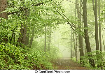 Misty spring forest - Forest trail among the beech trees on...