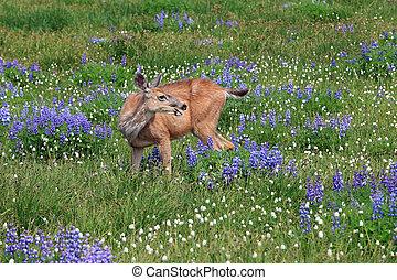 Alert deer in the field