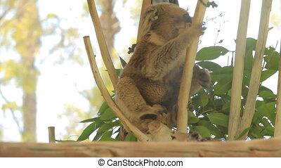 Koala wakes up in a tree