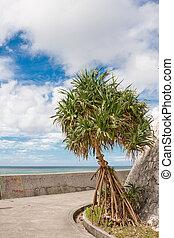 Okinawa Adan Tree - Pandanus tectorius, or screwpine is...