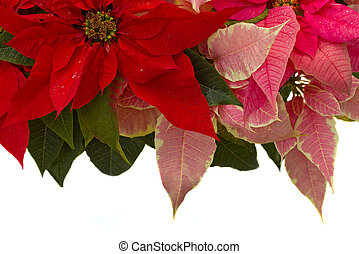 Poinsettia flower - christmas star - Poinsettia flower...