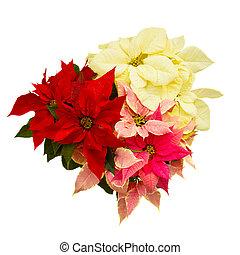 Poinsettia flower - christmas star - Poinsettia flower...