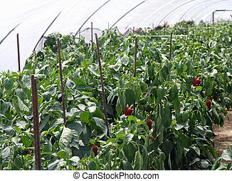 red peppers grown in a greenhouse - plants and ripe peppers...