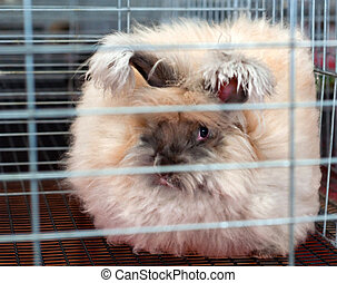 One English Angora Rabbit in Cage - This is a fawn colored...