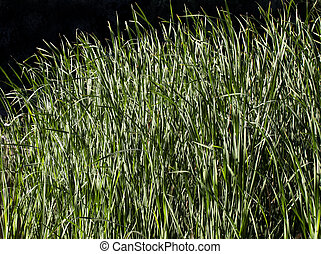 Water grass in the backlight against black background