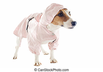 jack russel terrier and raincoat - portrait of a purebred...
