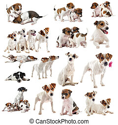 jack russel terrier - portrait of many purebred jack russel...