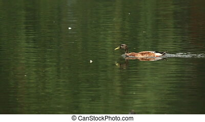 Duck - Duck on the lake