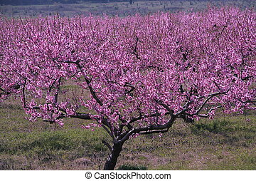 Peach Orchard - peach orchard with trees in full bloom