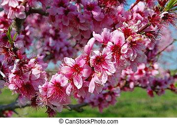 closeup  peach blossoms - closeup of pink peach blossoms