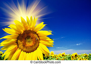Fun sunflowers growth against blue sky - Fine sunflowers and...
