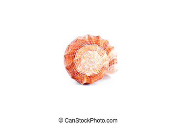 One shellfish against a white background