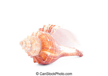 One beige shellfish against a white background