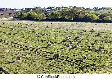 Merino sheep pasturing