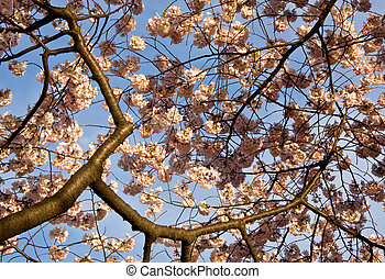 Cherry Blossom Close Up - Close up of cherry blossoms with...