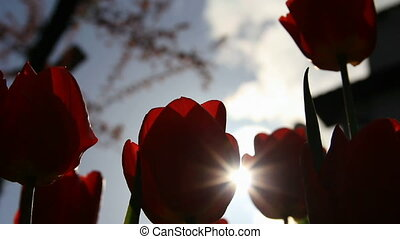 Sunbeams through tulips flowers