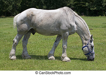 Big horse - White horse that is very large grazing on the...