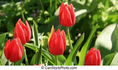 Scarlet tulip buds swinging on the garden flowerbed