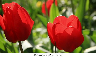 Two scarlet tulip buds