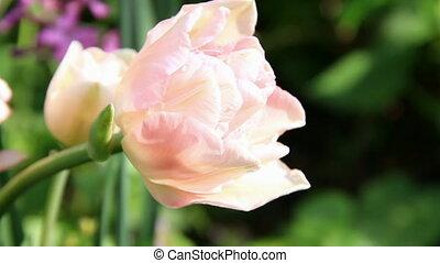 Pale pink tulip bud blooming
