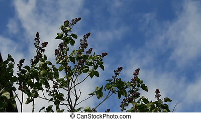 Buds lilac sprigs on background sky