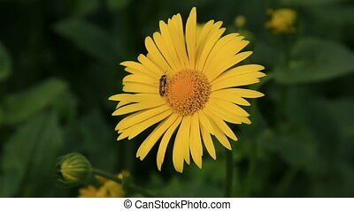 Small insect on the yellow camomile
