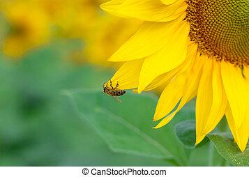 amarela, girassol, abelha