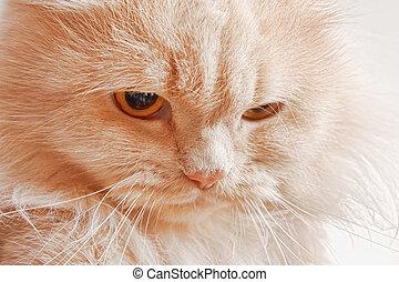 bozal, enojado, rojo, gato